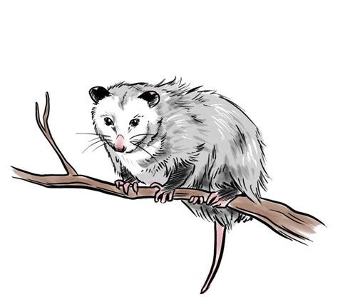 opossum clipart possum clipart opossum pencil and in color possum