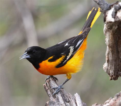 picture of a oriole bird orioles are a list back yard birds startribune