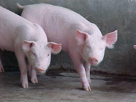 cul puede ser la inflacin publicada por el bcv en 2016 informaci 243 n sobre el cerdo informacion sobre animales