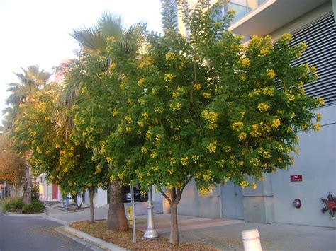 buy tree buy cassia trees for sale in miami ft lauderdale
