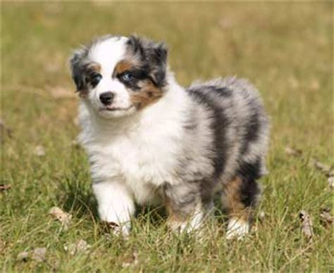 miniature australian shepherd puppies miniature australian shepherd puppies breeders australian shepherds