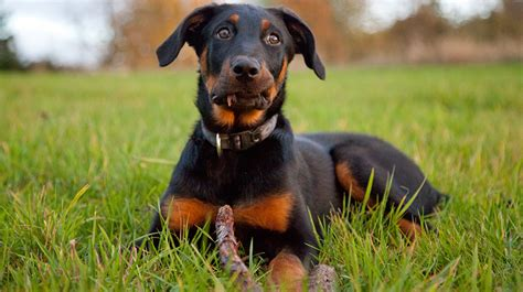 beauceron dogs