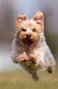 Yorkshire terrier breed information pet365