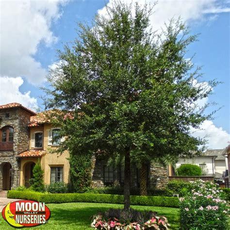 Garden Nurseries In Phoenix by Live Oak Southern Live Oak Evergreen Trees Moon