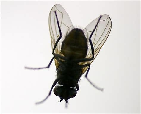 formiche volanti rimedi come scacciare le mosche rimedi naturali contro le mosche