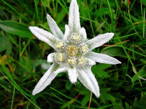 la stella alpina fiore stella alpina edelweiss il fiore anche se non 232 l inf