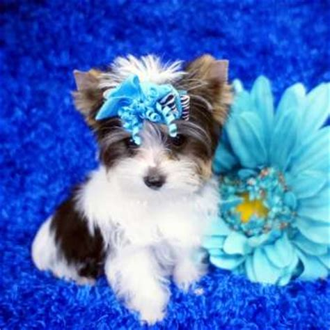 what are yorkies akc parti yorkies elvis terrier parti breeder