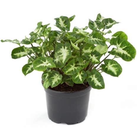 buy syngonium miniature indoor plant   plantsgurucom