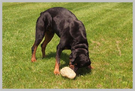 do rottweilers drool pet photography maine s drool worthy pet photographer