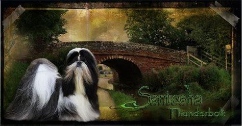 santosha shih tzu ch santosha thunderbolt chien de race toutes races en tous departements