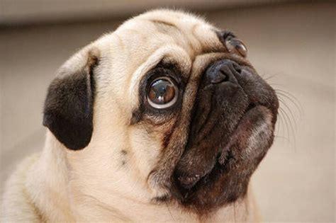 pug eye pug critter