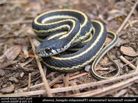 Garden Snake Get Rid Of Photo Common Garden Snake