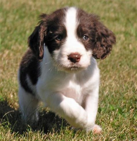 springer spaniel puppies the springer spaniel puppies daily puppy