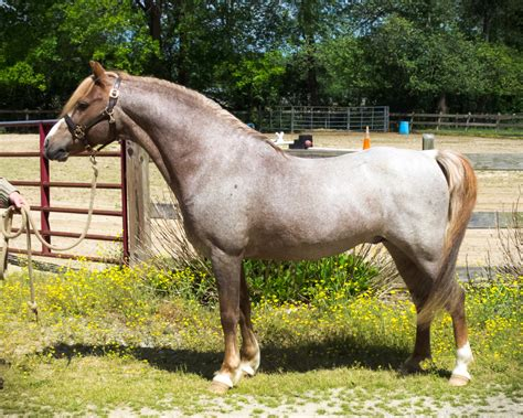 section b pony millpond bronze sun section b welsh stallion blue ridge