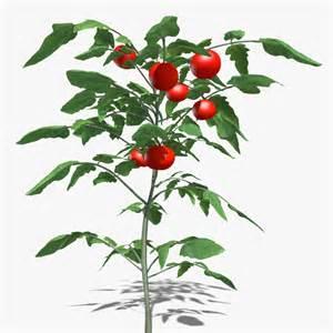 3d tomato plant model