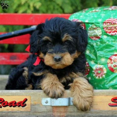 rottie poo puppies for sale bell rottie poo puppy for sale in pennsylvania