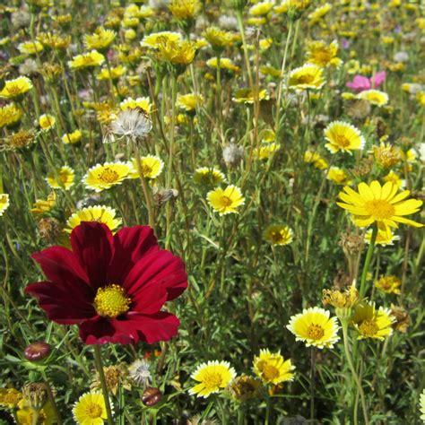 prato fiorito prato fiorito plantula