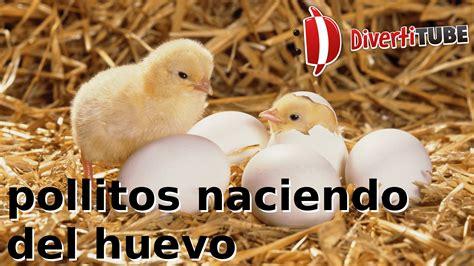 imagenes de animales naciendo v 237 deos de pollitos naciendo del huevo youtube