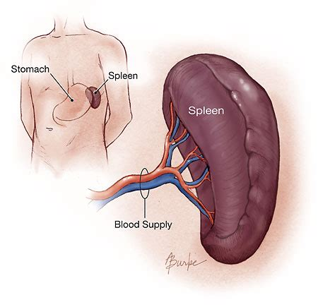 diagram of spleen what are the components of the immune system my immunity