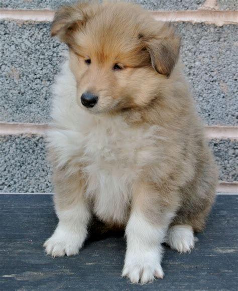 collie puppies collie puppies birmingham west midlands pets4homes