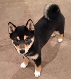 black and shiba inu puppy rainbow shibas the four colors of shiba inus tricolor black and