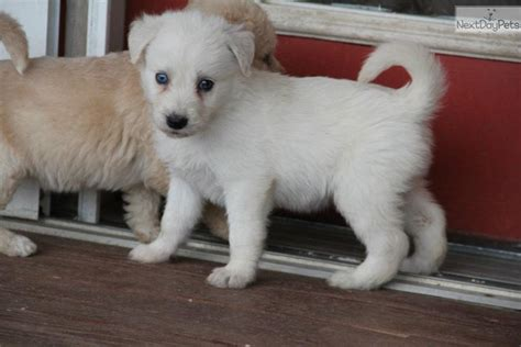 huskapoo puppies for sale siberpoo siberian husky ckc siberpoo breed info center breeds picture