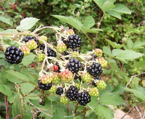 Blackbarry Jump Fruit file blackberry fruits10 jpg wikimedia commons