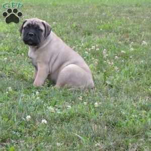 puppies for sale in lima ohio bullmastiff puppies for sale in pa greenfield puppies