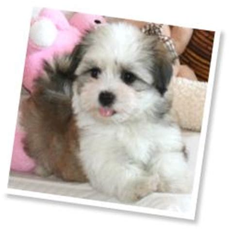 havanese weight range havanese by cornerstone