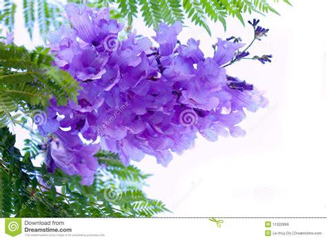 imagenes de flores jacaranda flores del jacaranda im 225 genes de archivo libres de