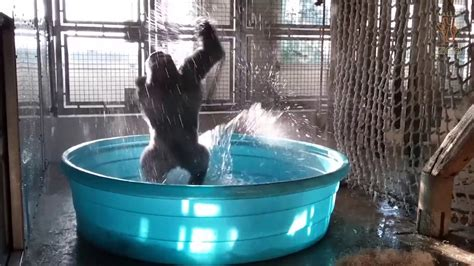 schwimmbad nã he breakdancing gorilla enjoys pool the