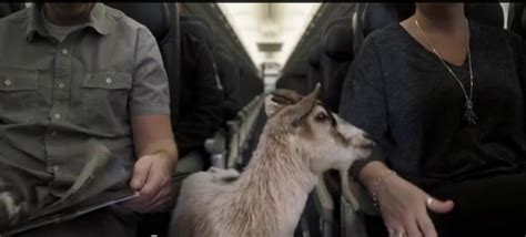 Westjet Pet Policy In Cabin by America Archives Page 3 Of 10 Airlinereporter