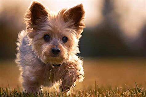 best time to get a puppy corkie breed 187 information pictures more