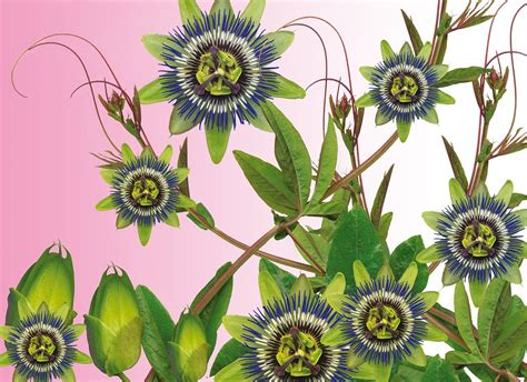 passiflora coltivazione in vaso passiflora fiore della passione consigli coltivazione