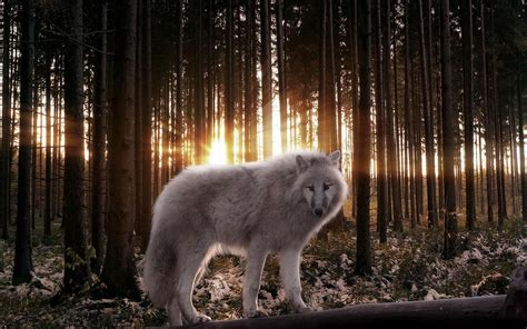 google themes wolf wolf wallpaper android apps on google play