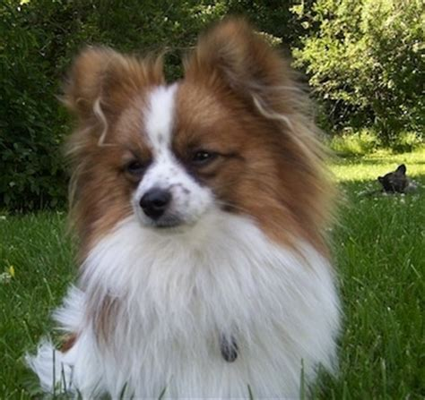 pomeranian mixed with papillon paperanian breed information and pictures