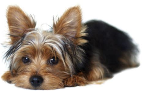 yorkie ear problems yeast infection terrier guide