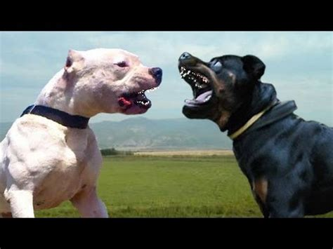rottweiler vs wolf would win dogo argentino vs rottwailer doovi