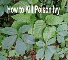 poison ivy oak and sumac information center www how to spot poison ivy oak sumac healthy life