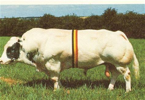 blue cattle belgian blue