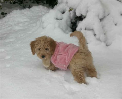 mini doodle iowa goldendoodle mini iowa