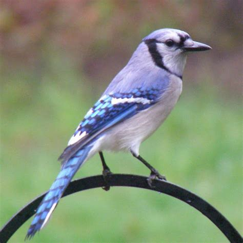 blue jay wallpaper wild birds wild animal and birds