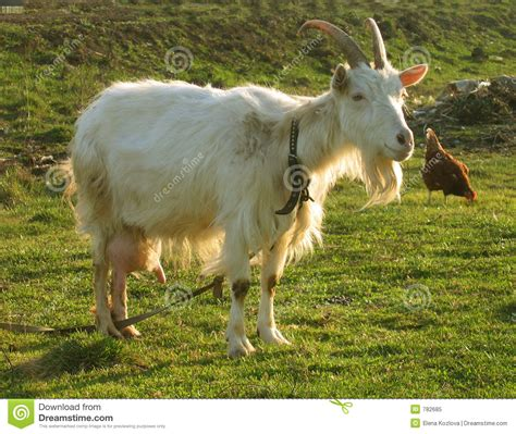 The Nanny Goat S Kid blanching nanny goat 6 stock image image of home horn