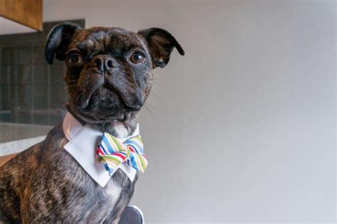 half pug half boston terrier fetching daily tagdaily tag