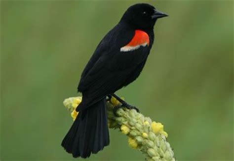17 best images about birds of western pa on pinterest
