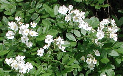 wild rose small white rambling rosa multiflora 05 flowering trees bushes and shrubs of