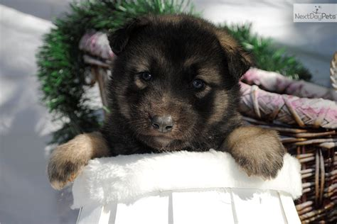 wolf puppies for sale in nc wolf hybrid puppy for sale near carolina 51a9f5a3 1af1
