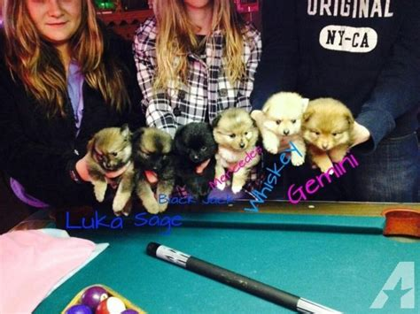 akc pomeranian breeders florida akc chion line pomeranian puppies for sale for sale in largo florida classified