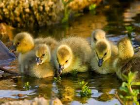 duckling image animals ducklings images