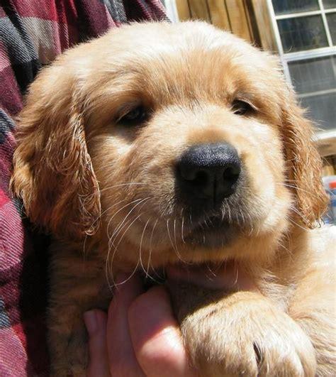 golden retriever puppies in wi 25 b 228 sta golden retrievers for sale id 233 erna p 229